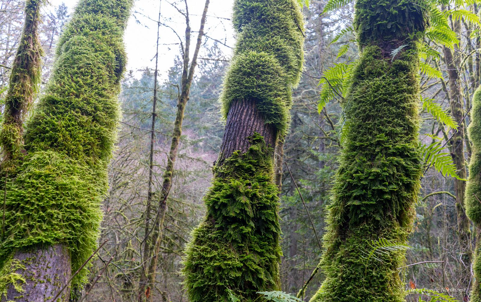 Forest Park Maple-Wildwood loop hike