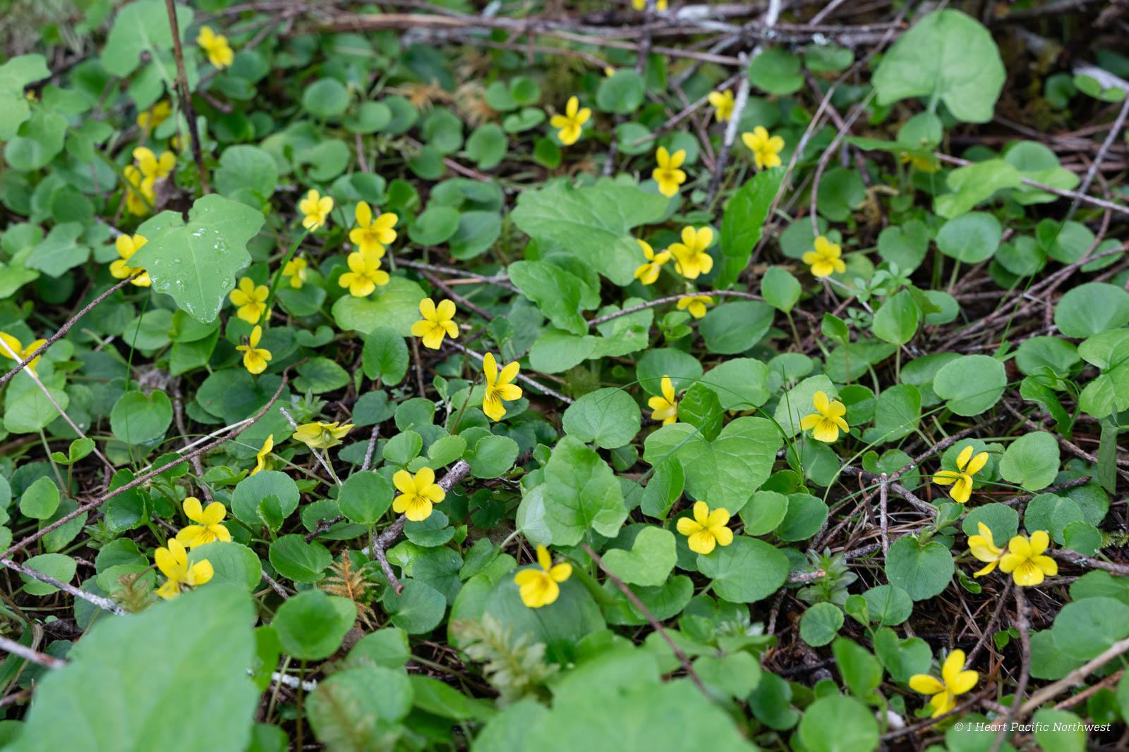 wildflowers at Gales Creek