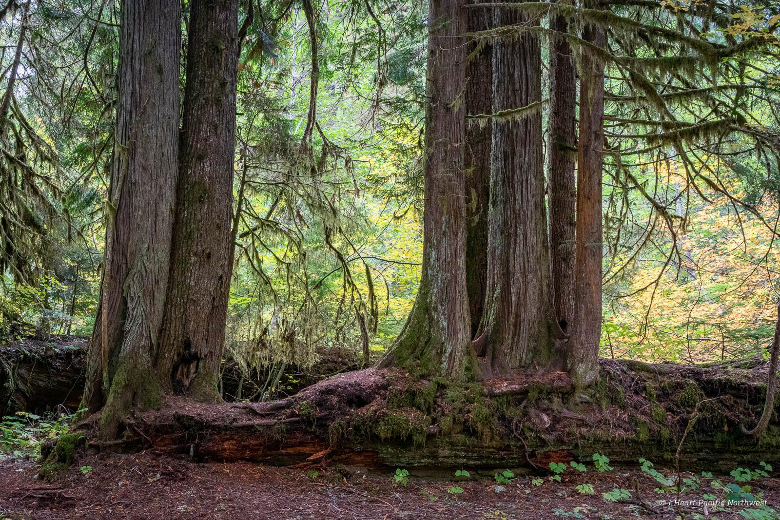 Mount Rainier National Park - Grove of Patriarchs hike
